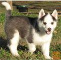 Lepa Siberian husky kuža išče ljubeč dom