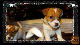 Jack Russell mladiči/najava legla! (Slike+HD video) J.Russel