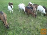prodam čredo koz