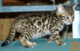 Cute Bengal cat Available