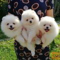 Lovely Pomeranian puppy available.