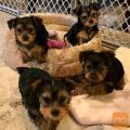 Puppiesyorkies