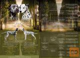 Dalmatinski psi dalmatineri štenci s BAER testom rezervacije