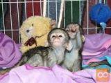 Zdrave otroške kapucinske opice naprodaj