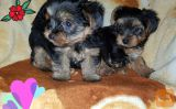 Yorkshire Terrier dogs and puppies