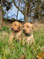 Mladiči lisice rdečega labradorca,